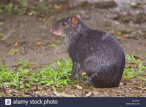 pisos la selva del c un negro agouti buscando alimento en el piso de la selva