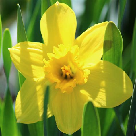 what color is daffodil 28 best daffodil color quot rainbow of colors quot