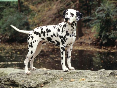 pictures of dalmatian puppies dogs photos ii