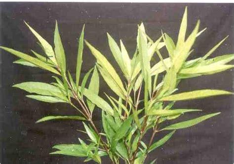 nanang ahdiat mengenal tanaman herbal