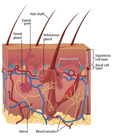 skin cells diagram cdc what is skin cancer