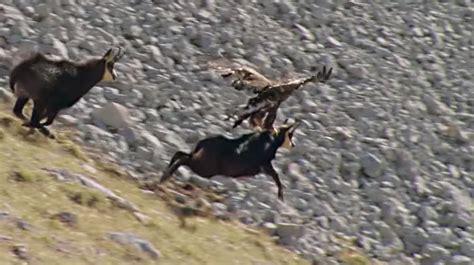golden eagle attacks goat  cliff