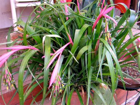 plant lovers billbergia nutans bromeliad queens tears plant by planttrader