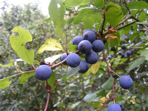 fruit of blackthorn tree september 2014 norfolk nature diary