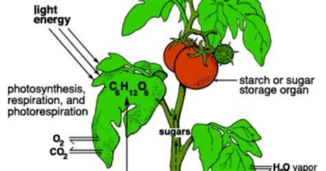 cara membuat zpt tumbuhan artikel ipa cara tumbuhan memperoleh energi artikrl