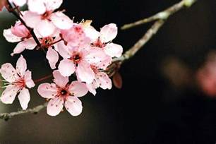 pictures of cherry blossoms cherry blossom desktop wallpapers wallpaper cave