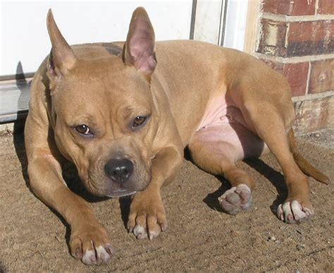 pitbull cross pug bulldog pit bull frenchie doggies i wantie bulldogs