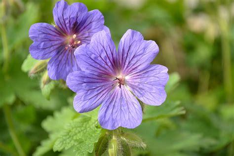 Geranium Sauvage Fleur by Photo Gratuite G 233 Ranium Fleur Bleu Gros Plan Image