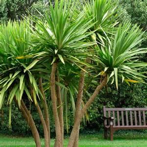 Cordyline australis cabbage palm dobbies garden centres