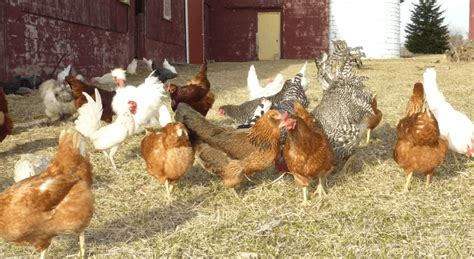 raising backyard chickens 47 backyard chicken owners speak out what i wish i d