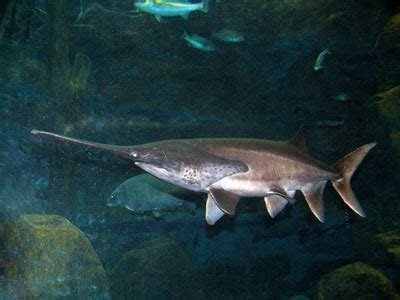 Polyodon Spathula the zoo american paddlefish