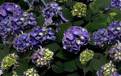 Hydrangea Macrophylla Endless Summer 4457 by Endless Summer Hydrangea