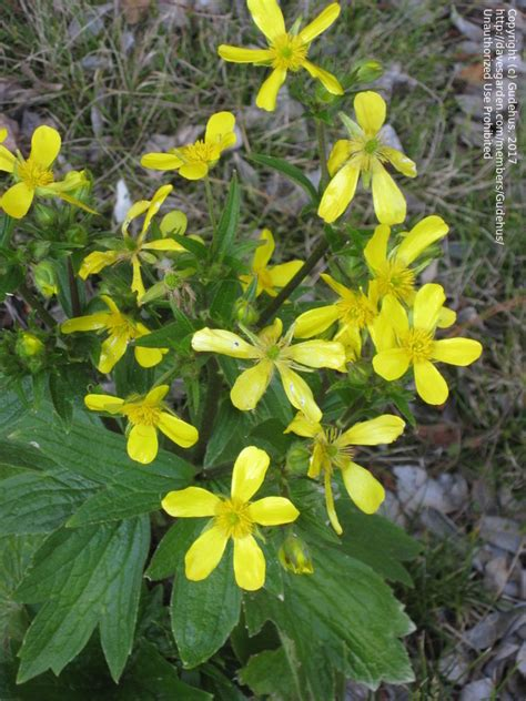 Yellow Garden Flowers Identification Plant Identification Need Id Of Yellow Flower With Big Leaves 1 By Gudehus