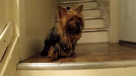 seizures in yorkies yorkie seizure wobbling yorkie liver shunt mvd hepatic or gallbladder attack
