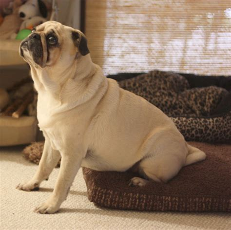 owned by pugs the pug owned by pugs