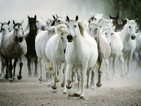 nice hourse beautiful wallpapers white horse wallpapers
