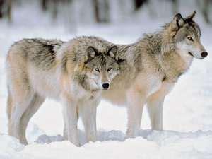 why do wolves howl? | britannica.com