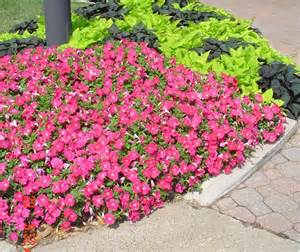 altrosa teppich petunia carpet with mix sweet potato vines at back