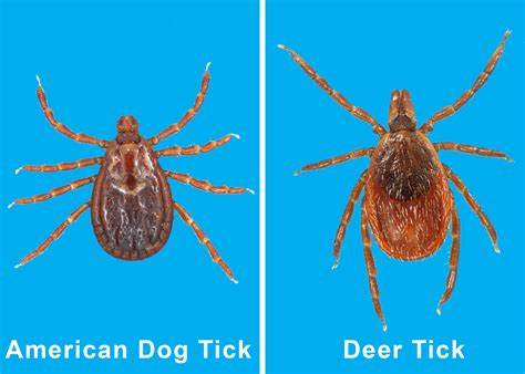 found tick in house found tick in house 28 images imposter bug mistaken for ticks bug pictures