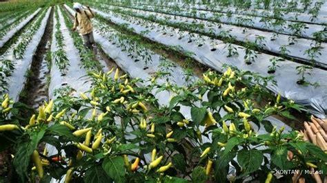Agribisnis Cabai Hibrida cabai rawit manis peluang budidayanya 1