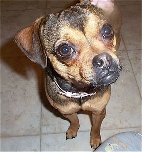 min pin pug muggin breed information and pictures