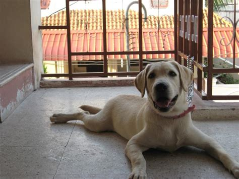 6 month lab puppy weight how much should a 6 month labrador retriever weight 1001doggy