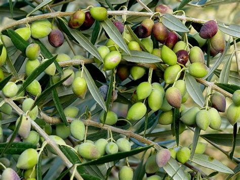 When Do Olive Trees Produce Fruit - olive press museum in naxos greece olive tree olive oil eggares village cyclades greek