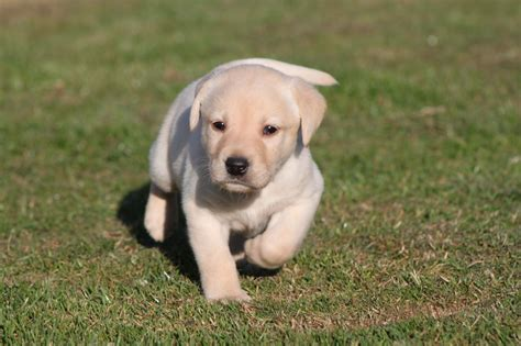 puppies for sell labrador puppies for sale holyhead isle of anglesey pets4homes