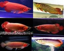 budidaya pertanian jenis jenis ikan arwana asia