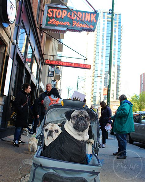 pug rescue chicago pugs take chicago clark ale house this pug