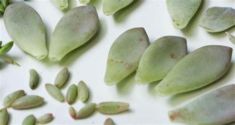 piante fiorite ricanti piante on line asclepias syriaca pianta dei pappagalli