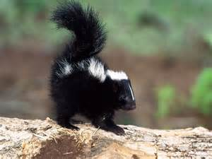 baby skunk animals pinterest