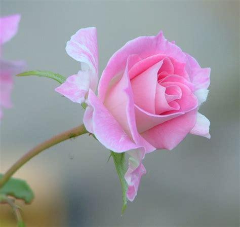imagenes de lindas rosas fotos gifs flores lindas imagem pra facebook gifs