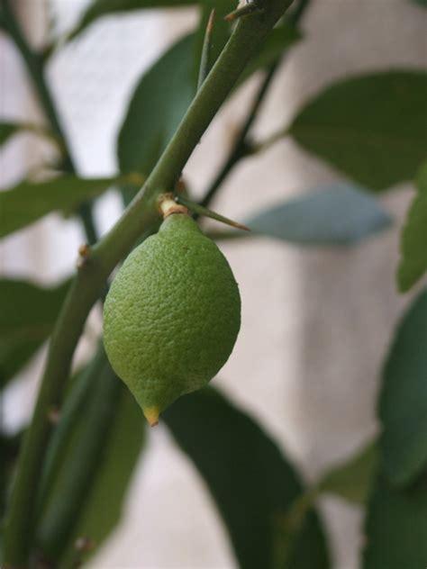 limone in vaso cure l orto di ziatati un limone bisognoso di cure eco eco