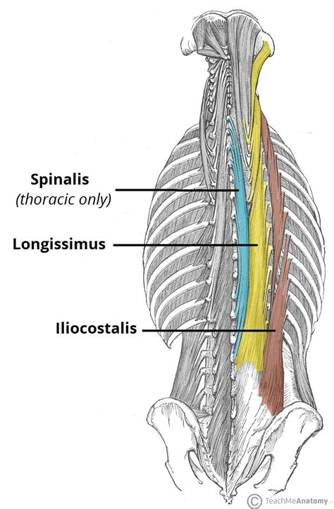 muscles head and torso lab ppt video online download