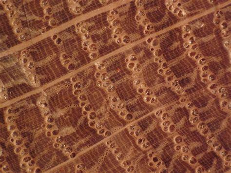 Wood End Grain Photos Ring Porous Domestic Hardwoods
