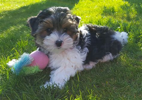 things yorkies 11 things you should about terrier yorkshireterrierguide