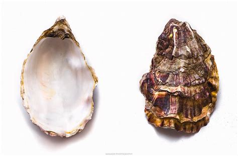 oyster shell oyster shell manadh photography