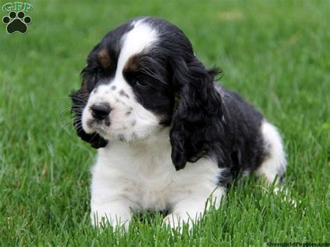 black and white cocker spaniel puppies black and white cocker spaniel black and white cocker spaniel puppies places to