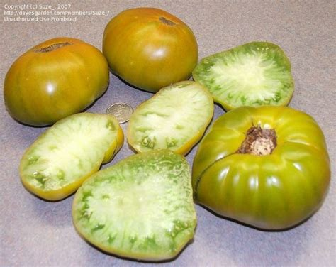 plantfiles pictures tomato grub s mystery green