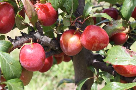 fruit tree supplies plum hawera