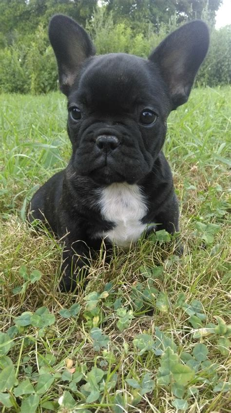 french bulldog for sale uk french bulldog for sale manchester greater manchester