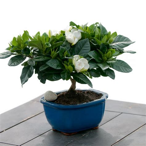 gardenia plants  gifts   occasions giving plants