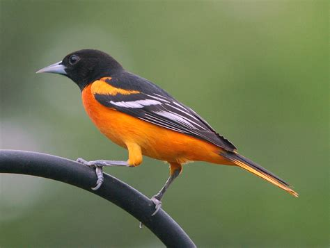 spirit of the cowgirl baltimore oriole