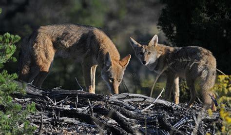 coyotes bandelier national monument  national park