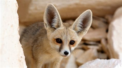 bbc     animals  facts foxes