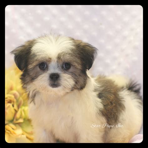 all white shih tzu all white shih tzu puppy brown pictures to pin on pinsdaddy