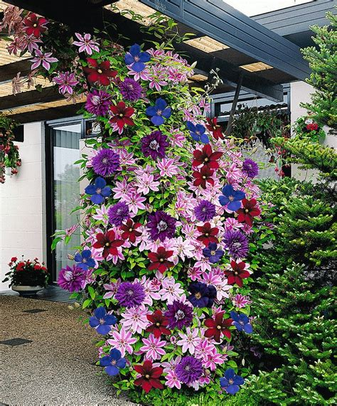 clematis climbing plant colorful clematis climbing plants diy cozy home
