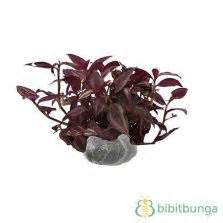 Tanaman Hias Anthurium Merah Lokal tanaman anthurium lokal merah