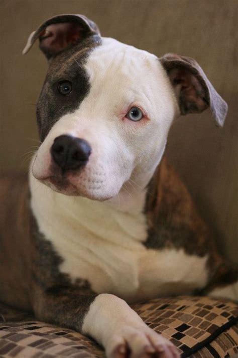 villalobos puppies 155 best pit bulls villalobos rescue center images on pets doggies and